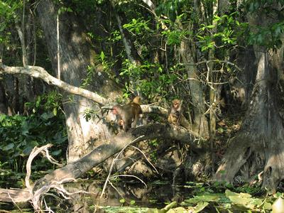 Rhesus monkeys in the Ocala National Forest