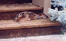 cold little doe lying on step with snow
