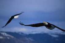 two eagles soaring like romantic spirits