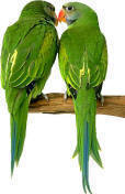 two green love birds kissing