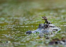 cute little gator on moms head