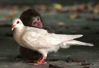 macaque monkey loving on pigeon