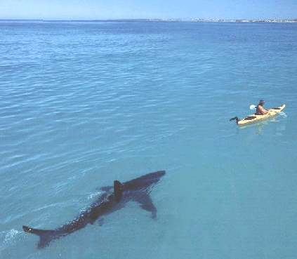shark chasing kayak