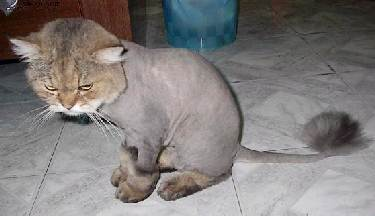 shaved cat