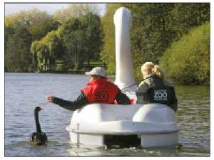 black swan Petra loves pedal boat