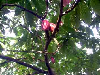 Under the cacao tree...