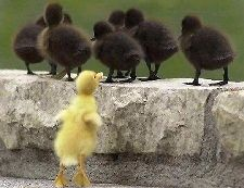 one yellow chick with a herd of black chicks